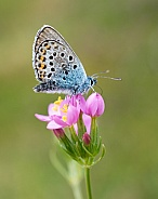 Silver Studded Butterfly