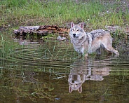 Tundra Wolf - Ripples and Reflection