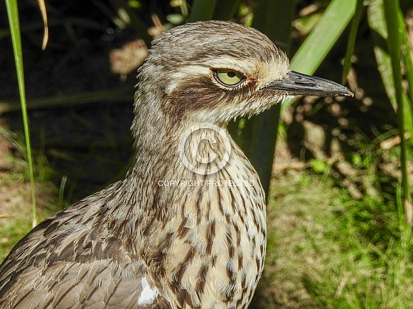 Bush Stone-curlew
