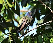 Sapphire Spangled Emerald Hummingbird