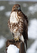 Red tail hawk sitting on a post