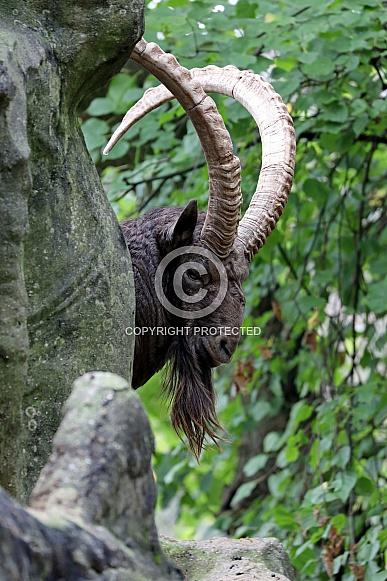 Alpina ibex