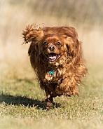 Ruby Cavalier King Charles Spaniel Running