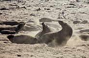 Elephant seals fighting on the beach