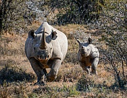 Black Rhino mother and calf