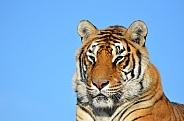 Tiger Potrait