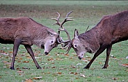 Rutting Red Deer Stag
