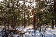Sun through the forest in AZ