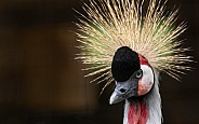 African Crowned Crane Side Profile Close Up