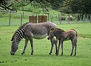 Zebra & Foal