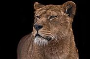 African Lioness Black Background