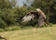 Wild Red Kite in Flight