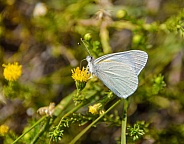 Banded Gold Tip Butterfly