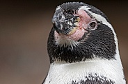 Humboldt Penguin Face Shot Close Up