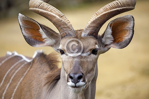 greater kudu (Tragelaphus strepsiceros)  on the blurred background