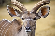 greater kudu (Tragelaphus strepsiceros)  on the blurred background