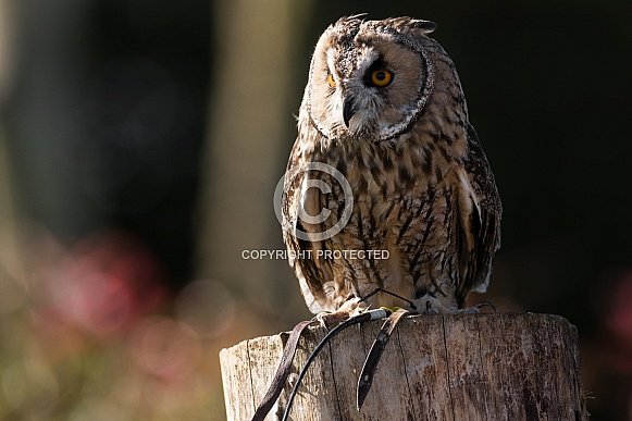 Long Eared Owl Close Up Full Body