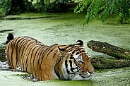Amur (Siberian)Tiger