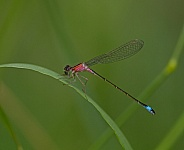 Blue tailed Damselfly