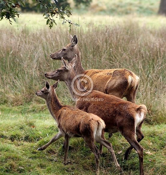 Three Female Red Deer