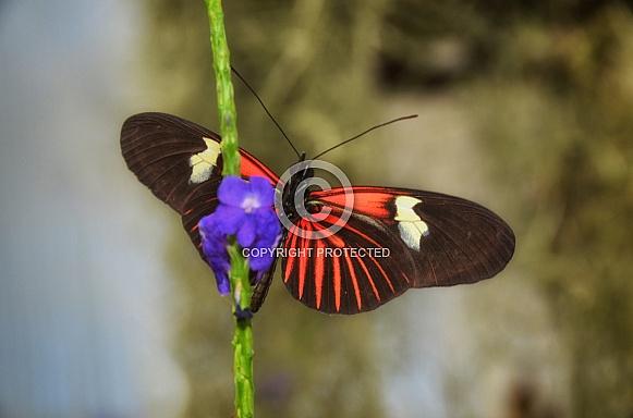 Butterfly - Doris Longwing