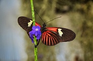 Butterfly - Doris Longwing