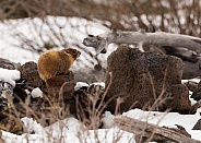 Yellow-bellied marmot,Marmota flaviventris