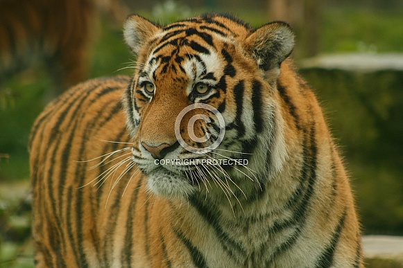 Amur Tiger Looking Sideways