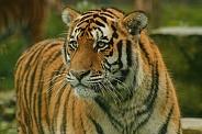Amur Tiger Looking Sideways
