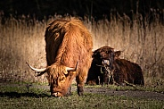 Highland Cow eating grass