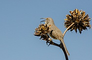 Curve-billed Thrasher perched in an Agave
