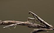 Egyptian Mantis