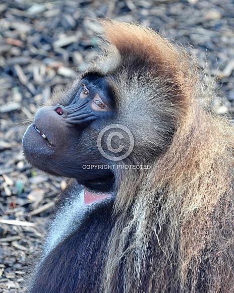gillada baboon