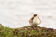 Egyptian Goose Chick on Riverbank
