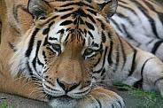 Amur Tiger Resting