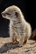 Yellow Mongoose Baby