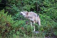 Tundra Wolf Howling