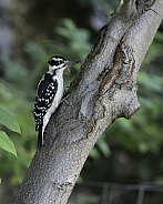 Hairy Woodpecker Perched on a Tree in Alaska
