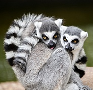 Ring-tailed lemurs snuggling together and looking at the camera