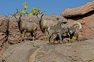 Bighorn Sheep Herd