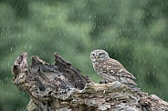 Little Owl in the Rain