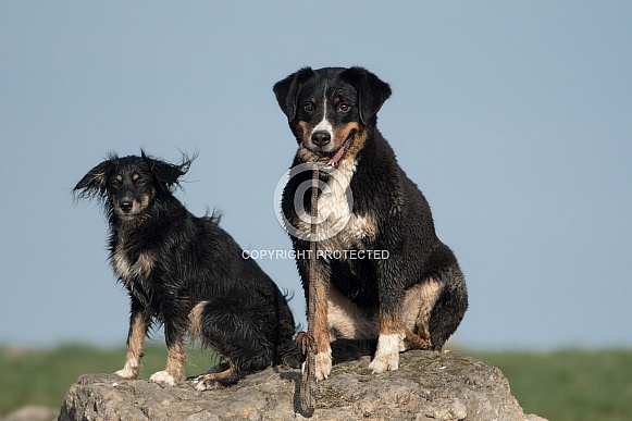 Appenzeller Sennenhund  and  Friend (Mongrel)