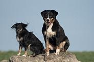 Appenzeller Sennenhund  and  Friend (Mongrel)