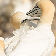 Northern Gannet Pair