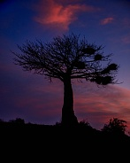 Baobab Tree Silhouette at Twilight