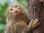 Pygmy marmoset (Cebuella)