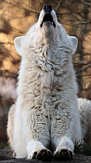 Howling white wolf (Canis lupus hudsonicus)