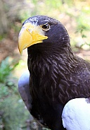 Steller's Sea Eagle 1