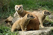 Yellow Mongoose Mother with Pups