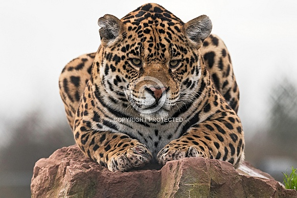 Jaguar Lying On Rock Facing Forwards